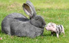 Un micro-lechón de pocos días junto a un conejo tres veces más grande en una granja de Andover (Tom Harrison, 2016)