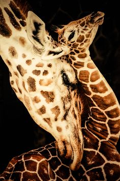 Giraffe snuggles her one-week-old calf.The animal kingdom is This Close to us. The Animals, Nature Animals, Cute Baby Animals, Wild Animals, Cutest Animals, Beautiful Creatures, Animals Beautiful, Animal Kingdom, Photo Animaliere