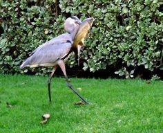 protect pond fish with Pond Defender™ Pond, Birds, Fish, Garden, Garten, Water Pond, Pisces, Gardening, Bird