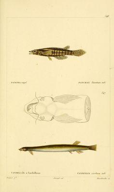 img/dessins-gravures de poissons/dessin-gravure de poisson 0581 pancha raye - panchax lineatum.jpg