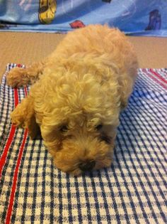 Toy Poodle (March). Codename: Dexter :)