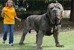 The-biggest-dog-in-the-world-15.jpg (640×441)