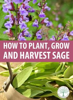 Grow your own sage! Here's how to plant, grow, and harvest it. Sage Herb, Sage Plant, Herb Garden Design, Garden Ideas, Sage Garden, Garden Tips, Snake Plant Care, Pineapple Sage, Herbs Indoors