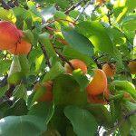Kedy strihať stromy, stromčeky a kríky | pestovanie.eu Fruit, Vegetables, Garden, Garten, Lawn And Garden, Vegetable Recipes, Gardens, Gardening, Outdoor