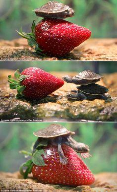 i miss feeding my box turtle strawberries : )