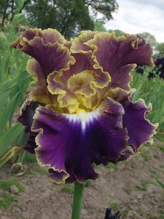 World of Irises: Illumination - By Keith Keppel - Seedling 06-193A—Also has an obvious heart, no obvious veining, with edge present and giving bicolor effect.  (((('Fancy Dress' x 'New Leaf') x 'Moonlit Water') x Blyth sdlg.) X 'Montmartre')