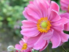 Anemone hybrida 'Serenade' (Herfstanemoon) Japanese Anemone, Mexican Flowers, Dream Garden, Hana, Creative Ideas, Plants, Mood, Diy Creative Ideas, Plant