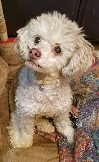 Pin By Sara Jane On Standard Poodles Poodle Puppies Dogs