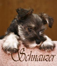 Miniature Schnauzer, isn't he adorable !