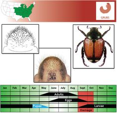 Asiatic Garden Beetle