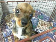 #A471663 Release date: 8/29 I am a female, black and tan Chihuahua - Smooth Coated. I have been at the shelter since Aug 22, 2014. If I am not claimed, after my stray holding period, I may be available for adoption on Aug 29, 2014. http://www.petharbor.com/pet.asp?uaid=SBCT.A471663... : City of San Bernardino Animal Control-Shelter. https://www.facebook.com/lchis/media_set?set=a.10203202186593068.1160364024&type=3