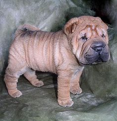 I love my shar pei. She looked similar to this one when she was a puppy. Miss Rose is my sweet friend!