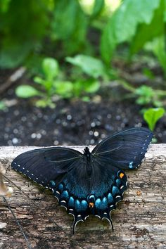 Spicebush Swallowtail (Host plants for caterpillars:  - Laurel family, lauraceae  1. Persea borbonia - redbay  2. Persea palustris - swampbay  3. Sassafras albidum - sassafras  4. Lindera benzoin - spicebush  5. Cinnamomum camphora - camphor tree)