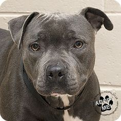 Urgent! I am at a full, kill shelter in  Troy, OH - Pit Bull Terrier Mix. Meet Athena, a dog for adoption. http://www.adoptapet.com/pet/18123524-troy-ohio-pit-bull-terrier-mix