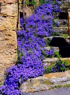 Stairs in bloom with beautiful blue violet Campanula!