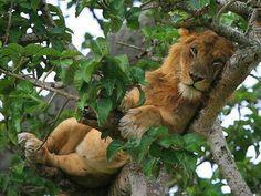 Leão de barriga cheia, descansando tranquilamente em cima de uma árvore. :)