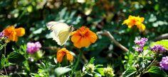 2011 Spring butterfly exhibit at Desert Botanical Gardens, Phoenix, AZ.