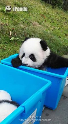 soinlovewithpandas: Giant Panda cubs in China on... | Pandas NEED our LOVE