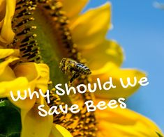 Why should we save the bees ? They enhance our lifestyle and the decline of the honey bee endangers more than the loss of honey production. Information About Bees, Bee Facts, Humble Bee, Beekeeping For Beginners, Honey Bees, Save The Bees, Endangered Species, Queen Bees, Bee Keeping