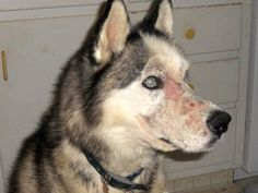 Attack on Husky inspires possible Michigan abuse registry