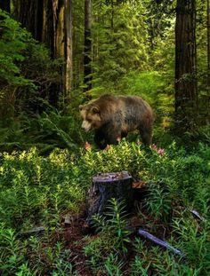 Bear lumbering through the woods