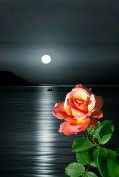 Moon Images, Moon Pictures, Love Amor, Beautiful Rose Flowers, Moon Rise, Love Garden, Good Night Image, Rose Photos, Beautiful Moments