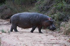 #Landscapes  #Animals #KrugerNationalPark #Kruger #KrugerNP #SouthAfrica #Safari #Travel #Animallove #VisitSouthAfrica #hippo