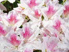 Pink White Flowers Google Da Ara