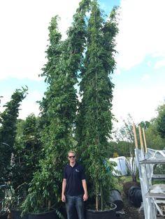 7m high wisteria! Blimey!
