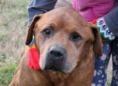 Il povero Arnold, vecchio cane corso, cerca casa. info: adozioni@leudica.org