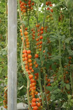 Imagen relacionada Fruit, Flowers, Plants, Tomato Plants, Tomatoes, The Fruit, Florals, Plant, Flower