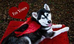 #alaskanmalamute #tonka #cupid #valentines#alaskanmalamute #tonka #cupid #ValentinesDay #love #alaskan #malamute