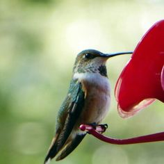 One of the hummers that call my backyard home.