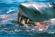 Great White Shark Eating Human | Shark eating a man in sea ~ Share Amazing Vidz...