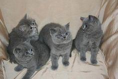 Brittish Blue Shorthair kittens