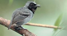 Black-faced Antbird - Introduction | Neotropical Birds Online