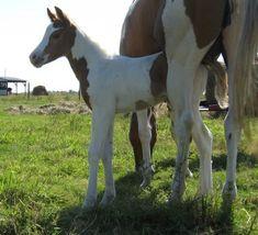 bev dolittle horse | My Bev Doolittle , Sorrel Tobiano (Homozygous), foaled 9/28/10, by ...