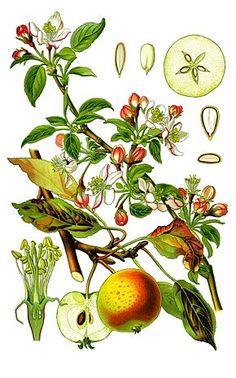 Description de l'image Cleaned-Illustration Malus domestica.jpg.