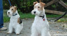 The wire fox terrier was once classified as a sporting dog for its hunting abilities and stamina. Read more about wire fox terrier characteristics here. Perro Fox Terrier, Wirehaired Fox Terrier, Toy Fox Terriers, Wire Fox Terrier, Airedale Terrier, Terrier Dogs, Wire Haired Terrier, Dog Ages, Recent Discoveries