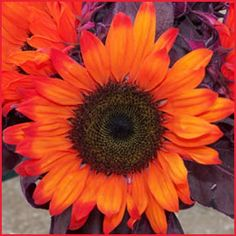 Red Tinted Sunflowers