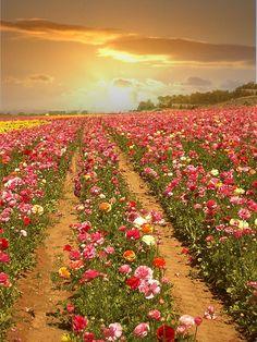 Pôr-do-sol em campos de flores.  Fotografia: Paige no Flickr.