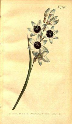 8091 Ixia maculata L. var. amethystina / Curtis's Botanical Magazine, vol. 21: t. 789 (1805) [S.T. Edwards]