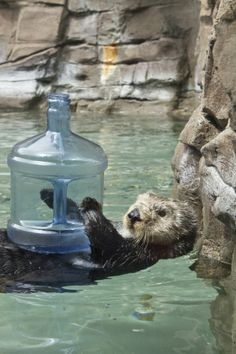 Otter has a water jug toy - July 24, 2013