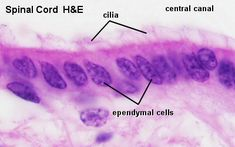 Blue Histology - Nervous Tissue