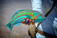 Rainbow Wrasse caught off Christmas Island. #imgur