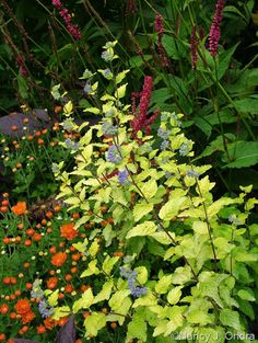 Caryopteris incana seedling with orange chrysanthemum and Persicaria amplexicaulis 'Taurus'; Nancy J. Ondra at Hayefield