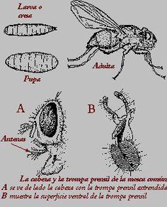 C mo eliminar las moscas de la fruta - Como eliminar plaga de moscas en casa ...
