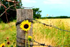 Fence Post and chisolm trail country sunflower Country Charm, Country Life, Happy Flowers, Beautiful Flowers, Champs, Country Fences, Country Roads, Sunflower Garden, Daisies
