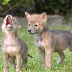 Baby coyotes... look how cute! I saw this guy on my walk this morning.