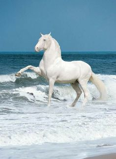 Beautiful white horse prancing in the surf at the beach.
